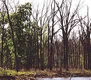 Photograph of tree stand with dead trees.