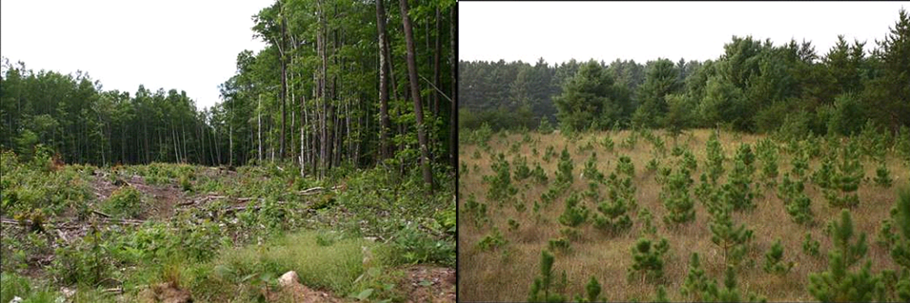 [Photograph] Side by side photo of forest condition boundary showing difference over time going from clear cut to new growth trees.
